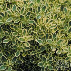 """Thymus Highland Cream. Full sun. DT. H 1-2"""", W 8-12"""". Blooms early-mid summer."""