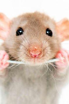 Rat - nice picture