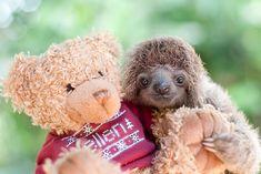 Gli adorabili e buffi cuccioli di bradipo dello Sloth Institute.