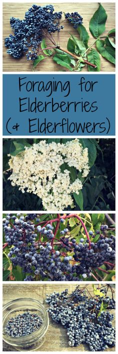 Elderberries (and elderflowers) are a wonderful edible and medicinal plant, plus they're easy to forage for! #MedicinalPlants