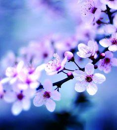 cherry blossom by Tharpauk - in flowers - Image Resizer / Wallpaper Maker on Reshade