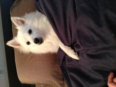Aston - my mini American Eskimo dog!