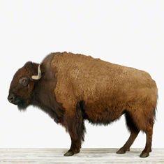 This print is amazing, big want! The Animal Print Shop by Sharon Montrose - American Buffalo print Buffalo Animal, Buffalo Art, Buffalo Painting, Fine Art Photo, Photo Art, Buffalo Hump, Animal Print Shop, Animal Prints, Tier Fotos
