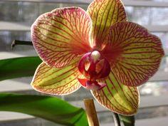 Phalenopsis Orchid Flowers, Orchids, Shop Ideas, Floral, Nature, Plants, Beautiful, Naturaleza, Florals