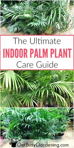 This detailed indoor palm plant care guide has everything you need to know for how to growing different types of palm houseplants Learn exactly how to care for palm trees. Palm House Plants, Potted Palm Trees, Potted Palms, Indoor Palm Trees, Indoor Palms, Palm Tree Plant, Trees To Plant, Palm Plants, Plants Indoor