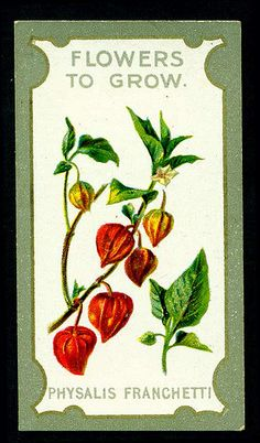 "Lea's Cigarettes ""Flowers to Grow ~ The Best Perennials"" (series of 50 issued in 1913) #20 Physalis Franchetti (Cape Gooseberry)"
