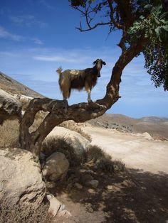 """This goat in Crete climbing a tree says """"the worm larvae can't get me up here """" #goatvet"""