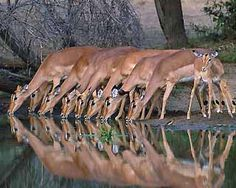 Drinking water....Kruger National Park  SOUTH AFRICA