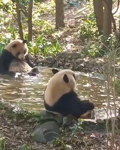 #panda#pandas#pandabear#pandalove#pandalover#pandalife#babypanda#pandababy#pandaeyes#iampanda#animal#ilovepanda#welovepandas Panda Funny, Funny Animal Jokes, Cute Panda, Funny Animal Videos, Cute Funny Animals, Cute Cats, Amazing Animal Pictures, Bear Pictures, Baby Animals Super Cute
