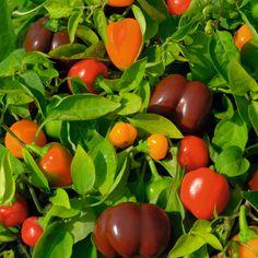Sweet Pepper 'Mini Bell Mixed' - Pepper (Sweet) & Chilli Seeds - Thompson & Morgan Worldwide