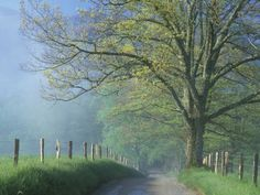 Foggy Road and Oak Tree, Cades Cove, Great Smoky Mountains National park, Tennessee