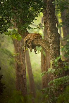 A sleeping jaguar lying on a tree branch with its limbs hanging down around it.