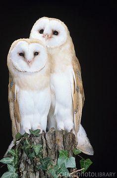 Barn Owl couple