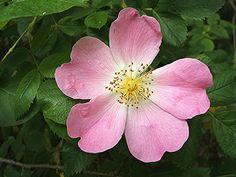 La Rosa Canina e l'olio di Rosa Mosqueta | CookingBeauty