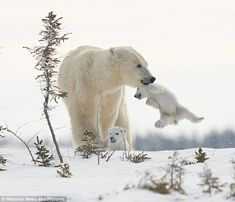 'Put me down mum': Poignant moment polar bear cub is made to catch up as family make trek in snowy sub-zero temperatures - Wildetiere - Animals Baby Polar Bears, Cute Polar Bear, Teddy Bears, Cute Baby Animals, Animals And Pets, Funny Animals, Wild Animals, Photo Animaliere, Mother Bears