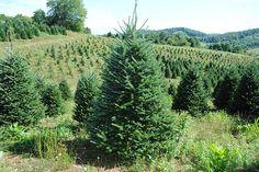Severt's Fraser Fir Fraser Fir, Vineyard, Plants, Outdoor, Outdoors, Vine Yard, Vineyard Vines, Plant, Outdoor Games