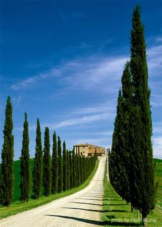 Tuscany estate entrance lined with Cyprus trees. #homes