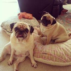 Slump and head tilt. Pug life. (SR)