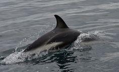 https://flic.kr/s/aHskpi6Lqb | Delfines | Delfines en Península Valdés