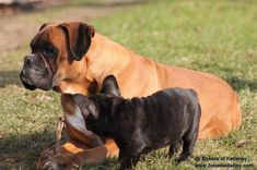 Herra v.d. Cer Gebirge with Frenchie pup