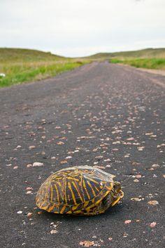 Box Turtle Crossing, Nebraska