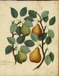Pears by Ulisse Aldrovandi