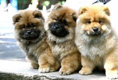 Chow Chow puppies.