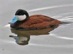 ruddy duck - Bing Images