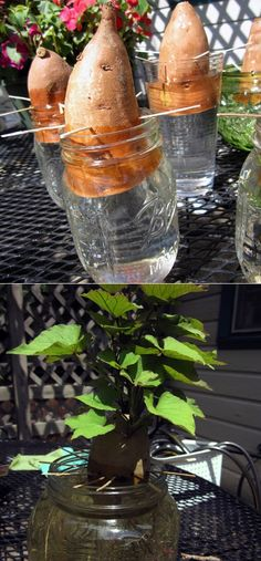 sweet potato slips (How To Beauty) Starting sweet potato slips How to root a sweet potato for planting: First, stick toothpicks around.Starting sweet potato slips How to root a sweet potato for planting: First, stick toothpicks around. Veg Garden, Garden Plants, Indoor Plants, Vegetable Gardening, Veggie Gardens, China Garden, Forest Garden, Garden Soil, Indoor Garden