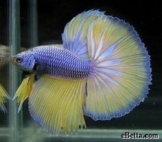 I love how many colors are in this betta!