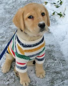 Labrador Retriever in a sweater.