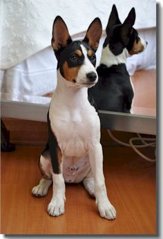 Basenji Dogs - Here Lies The Answer To Your Dog-related Question - Dog with Puppy Animals And Pets, Baby Animals, Cute Animals, Basenji Puppy, Yorkshire Terrier Puppies, Puppy Play, Lab Puppies, Hunting Dogs, Beautiful Dogs