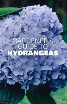 how to care for and choose hydrangeas