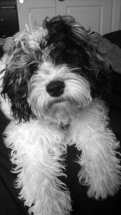 cockapoo-black/white adorable