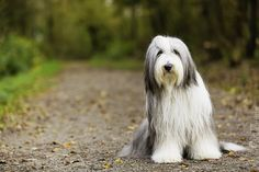 Bearded Collie | by Bl4ckGalaxy