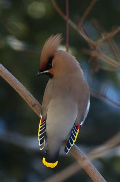 Cedar Waxwing.....these gorgeous creatures are in my back yard garden!