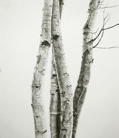 black/white pencil drawing of 4 tree trunks