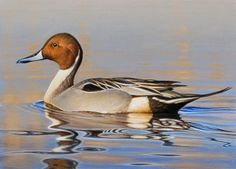 Smooth Sailing - Pintail 6.5x9, painting by artist George Lockwood