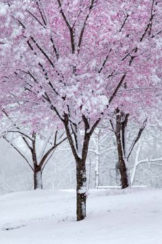 Chicago's cherry blossom trees in winter. Winter Szenen, I Love Winter, Winter Magic, Winter Time, Spring Snow, Blossom Trees, Cherry Blossoms, Snow Scenes, Winter Beauty