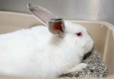 #WVIRGINIA ~ ID 24 Thelma is a gorgeous adult female white bunny rabbit. She's a stunning bun! This girl is friendly & lets you pet her. She'd be a great pet & is looking for the right family! Instead of buying from a pet store save a life instead !!! Her #adoption fee is $35 which includes spay/neuter & shots. She's in need a loving #adopter / #rescue at the KANAWHA / CHARLESTON HUMANE ASSOC  1248 Greenbriar St   #Charleston WV 25311  wvanimalshelter@suddenlink.net  Ph 304-342-1576