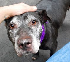 SUPER URGENT Manhattan Center DR.PEBBLES – A1047236 FEMALE, BLACK / WHITE, AMERICAN STAFF MIX, 8 yrs STRAY – EVALUATE, NO HOLD Reason ABANDON Intake condition EXAM REQ Intake Date 08/08/2015 http://nycdogs.urgentpodr.org/dr-pebbles-a1047236/
