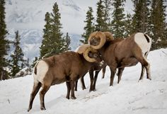 Rocky Mountain Bighorn Sheep (Ovis canadensis) ~ A group of rams are deciding whether to fight or not on the slopes of the Rocky Mountains in Jasper National Park, Alberta, Canada during winter.