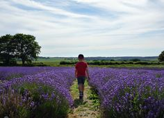 And then the fun began... - The Lavender Farm Mob - all about our day in the lavender fields...