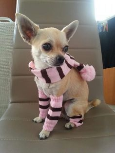 Effective Potty Training Chihuahua Consistency Is Key Ideas. Brilliant Potty Training Chihuahua Consistency Is Key Ideas. Chihuahua Breeds, Baby Chihuahua, Dog Breeds, Chihuahuas, White Chihuahua, Chihuahua Clothes, Cute Puppies, Cute Dogs, Cute Dog Stuff