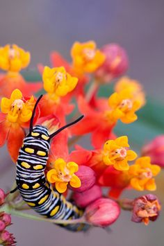 monarch caterpillar on milkweed - the only plant they can survive on. Queen of the Asclepias (milkweed) Beautiful Bugs, Beautiful Butterflies, Beautiful Flowers, Beautiful Creatures, Animals Beautiful, Especie Animal, Cool Bugs, Moth Caterpillar, A Bug's Life