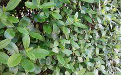 Troène  (Ligustrum vulgare)h 2-4m