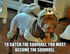Undercover Pit Bull :) - This is particularly amusing to me because I knew someone who had a pit bull and a squirrel would set just out of reach and taunt him.  :)