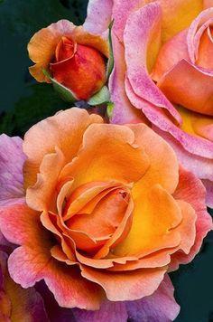 "flowersgardenlove: "" Tahitian Sunset Rose Beautiful """