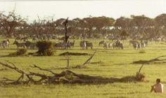 Mid-80s on the Savute Marsh