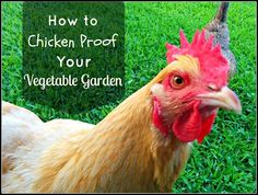 An easy and inexpensive way to keep chickens from eating the veggies in raised beds! Chickens, the buffet is closed!